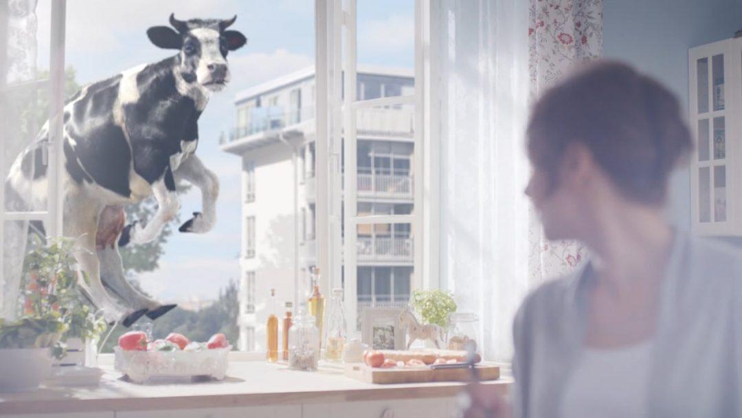 ŁACIATE / Cow